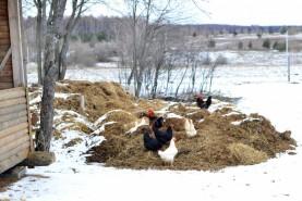 """Стремление \\""""свежей травки пощипать\\"""" преобладает над страхом обморозить куриные лапки."""