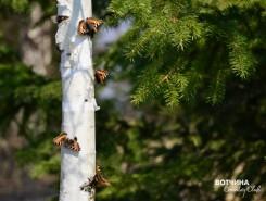 Березка в авторских украшениях от природы. Встречайте на участках с лесом.