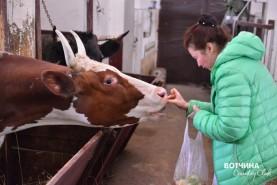 Пара айширских дойных коров завезли на ферму Вотчины два года назад. Уже потомки подросли...