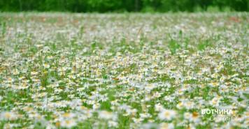 ромашковое поле