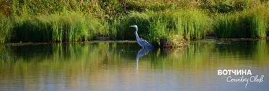 Чистая экология - редкие Серые цапли облюбовали наши пруды