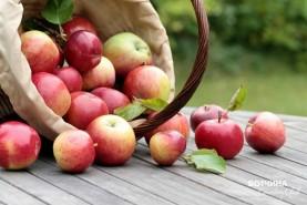 Собираем урожай на Вотчине. Яблочный СПАС!