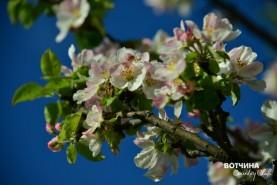 Яблоня весной полностью покрывается «пеной» из великолепных ароматных цветков!