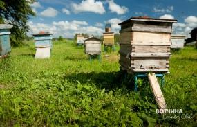 Самая производительная семья медоносных пчел.